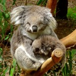 Koala with Joey at Healesville Animal Sanctuary