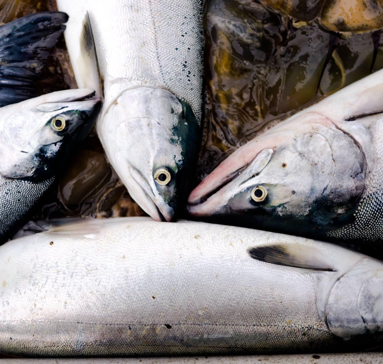Season's End Salmon Recipe Round-Up