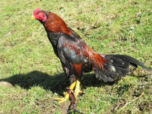 Asil Chicken  - 50 Most Popular Chicken Breeds to Farm With in South Africa
