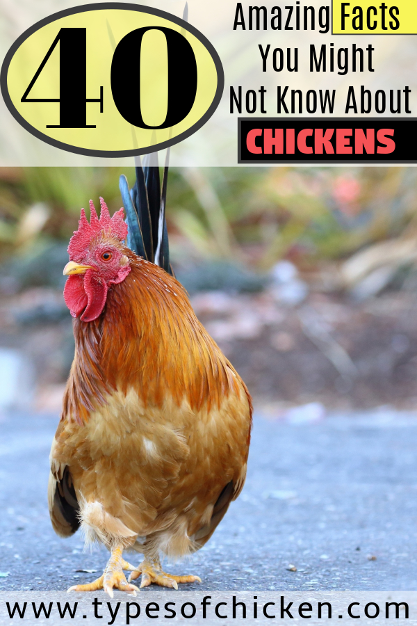 40 Amazing Facts You Might Not Know About Chickens Types Of Chicken