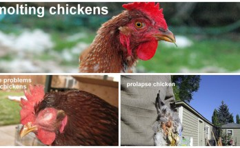 Most Common Chicken Diseases