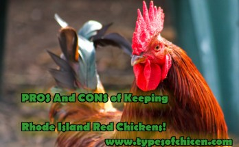 KEEPING RHODE ISLAND RED CHICKENS