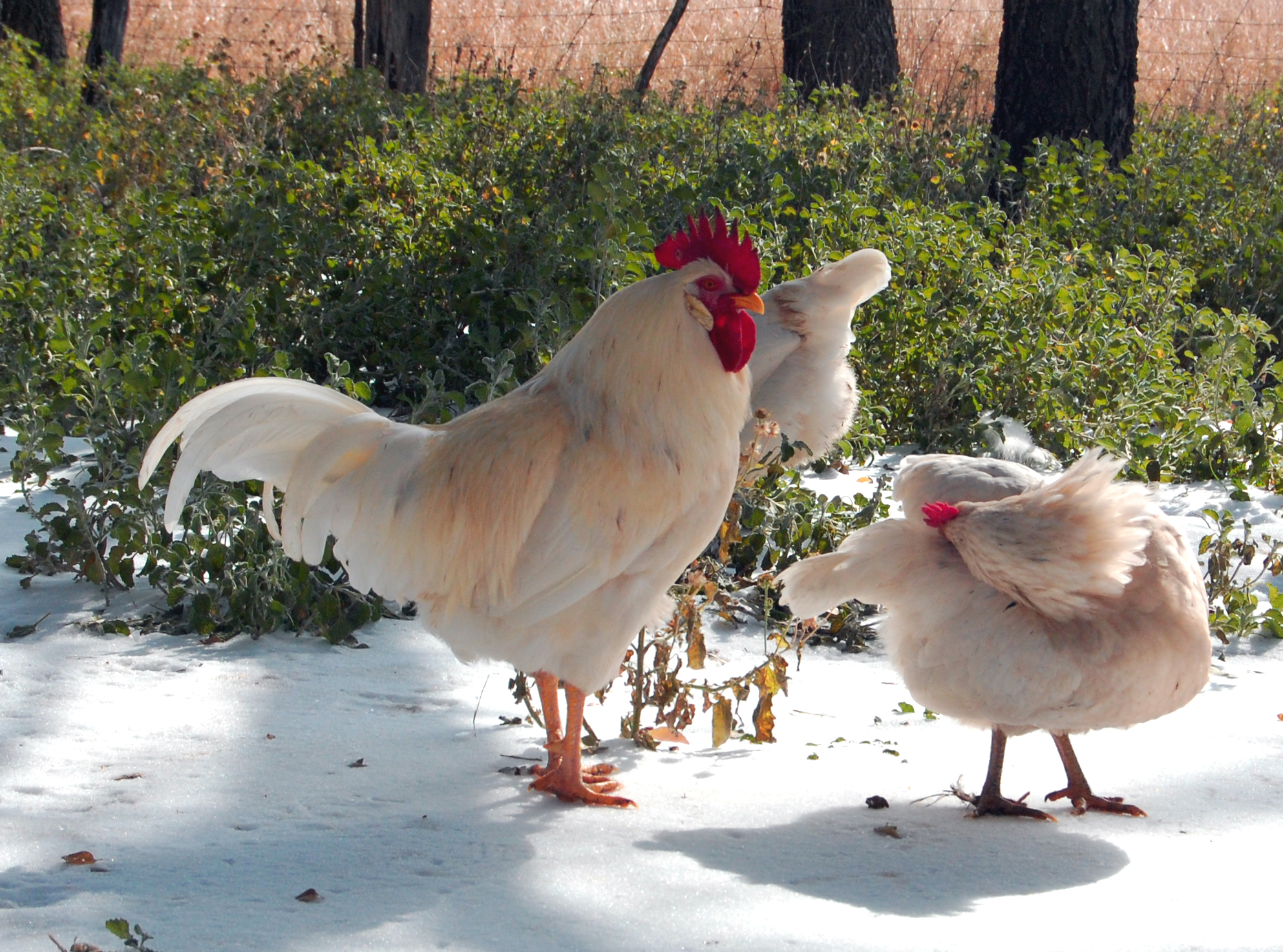 Pros And Cons Of Keeping Rhode Island Red Chickens