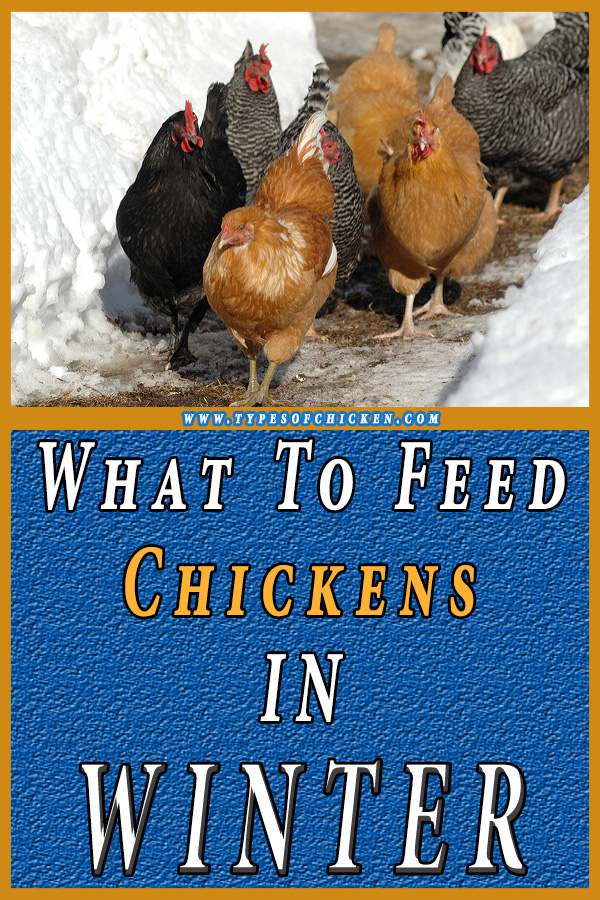 what to feed chickens in the winter
