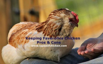 Faverolles Chicken