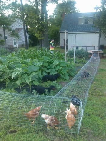 chicken tunel wire pinterest 1