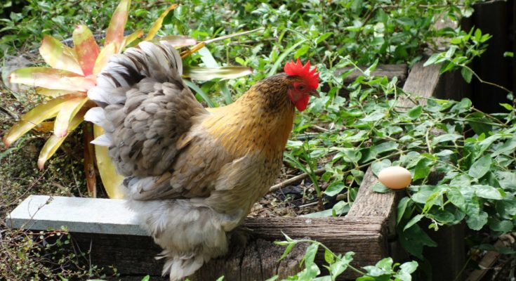 When To Expect Your Hen To Lay