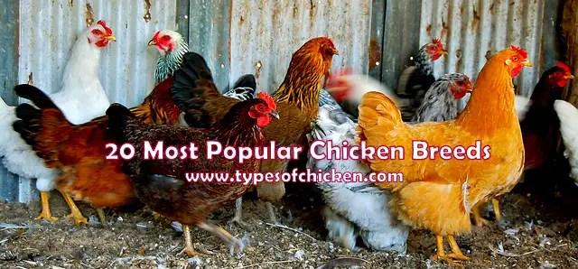 20 Most Popular Chicken Breeds