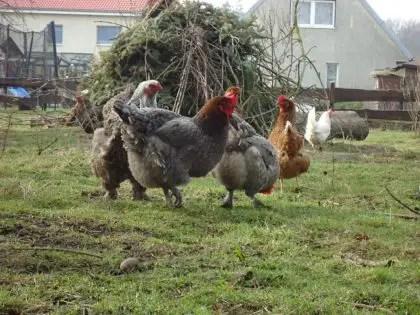 Check Your Chicken Gender