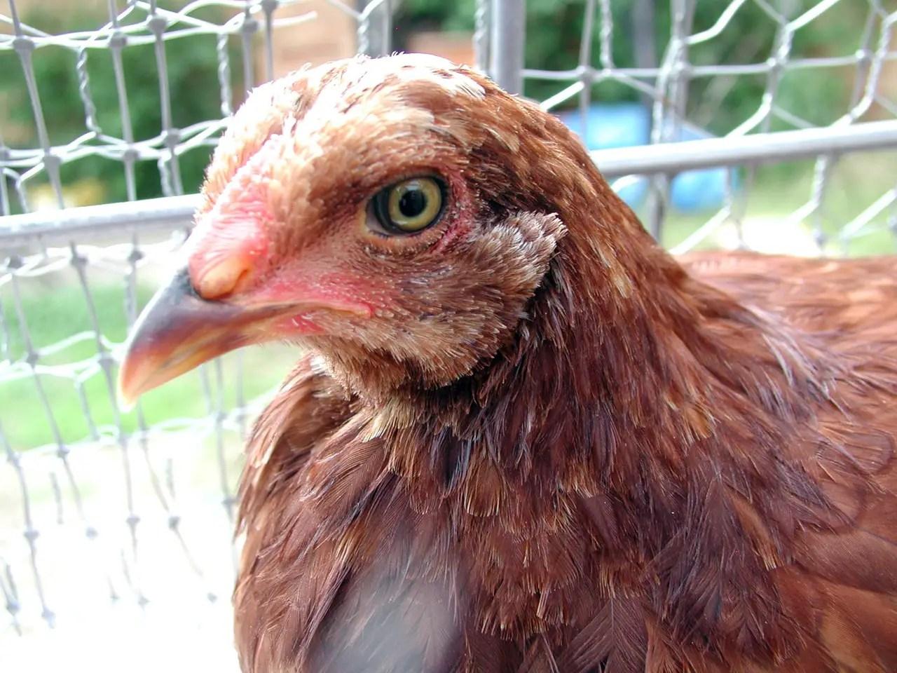 Friendly Buckeye Chicken