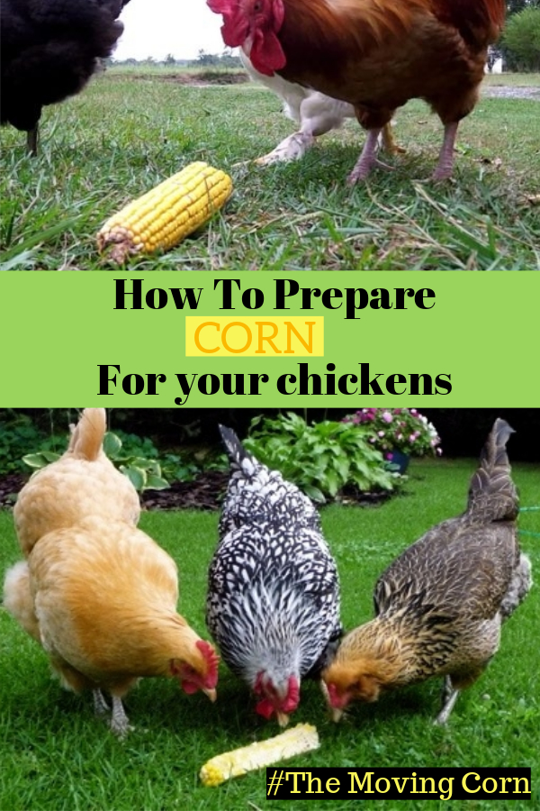 How To Prepare Corn For Your Chickens