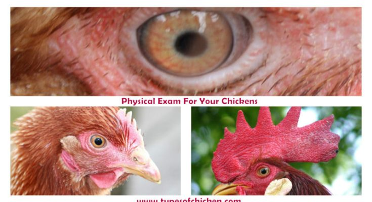 Physical Exam For Your Chickens