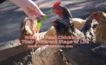 What to Feed Chickens