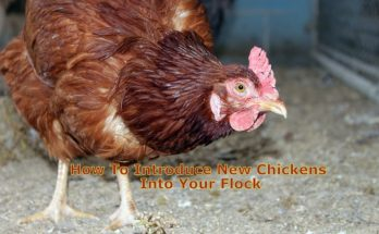 How To Introduce New Chickens Into Your Flock