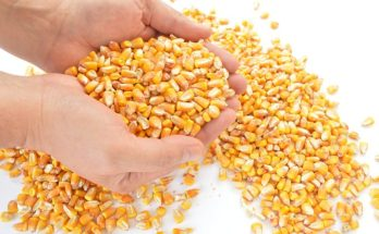 Corn For Your Chickens