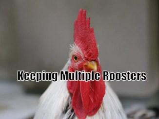 Keeping Multiple Roosters
