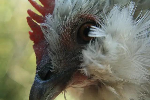 Keeping Belgian Bantam Chickens