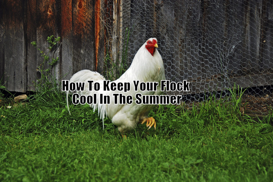 Hotter and hotter days are coming and it is almost time for every chicken keeper to prepare his flock and their coop for the summer.