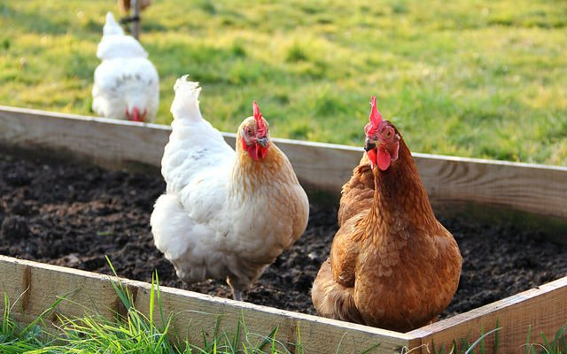 When Raising Chickens - Beware of These Things