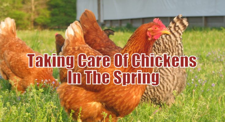 Taking Care Of Chickens In The Spring