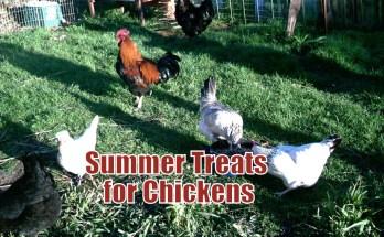 Summer Treats for Chickens