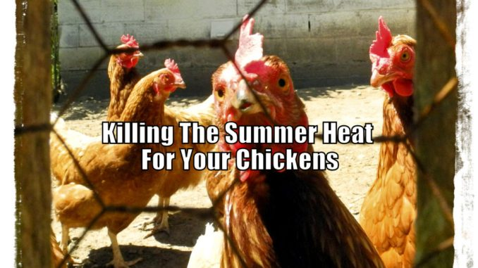 Killing The Summer Heat For Your Chickens
