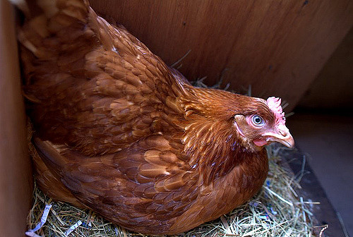Facts About Hens, Eggs And Chicken Mating!