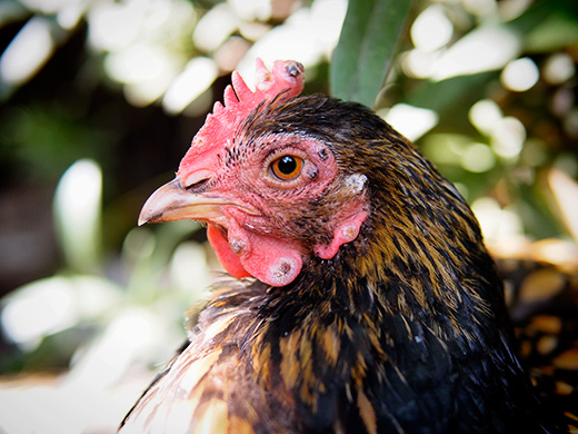 Avian Pox In Your Chickens