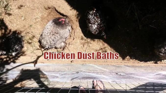 Chicken Dust Baths