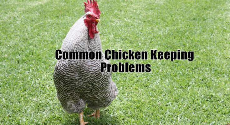 Common Chicken Keeping Problems