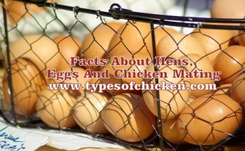 Facts About Hens, Eggs And Chicken Mating