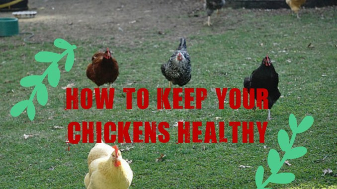 How To Keep Your Chickens Healthy