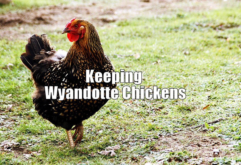 Pros & Cons About Keeping Wyandotte Chickens