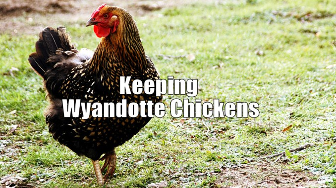 Keeping Wyandotte Chickens