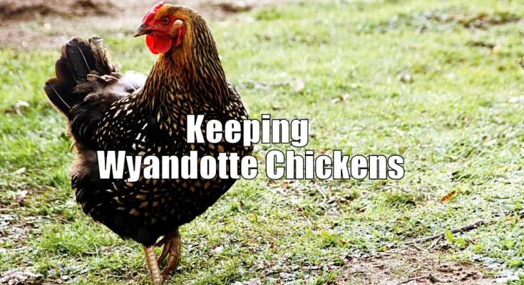 Keeping Wyandotte Chickens