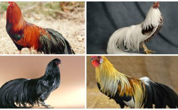 Long-Tailed Chickens