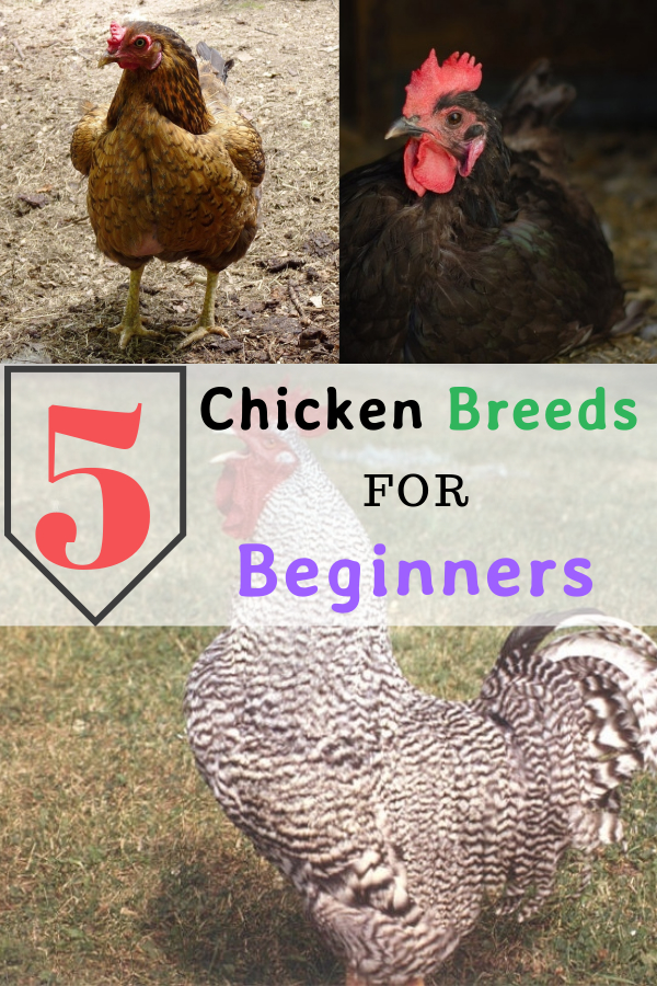 Top 5 Chicken Breeds For Beginners!