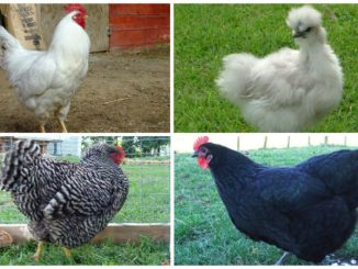 Top 5 Chicken Breeds For Beginners