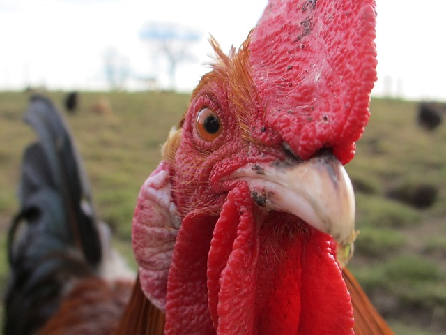 How To Handle An Aggressive Rooster