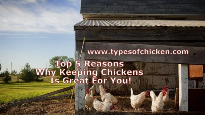 Top 5 Reasons Why Keeping Chickens Is Great For You!