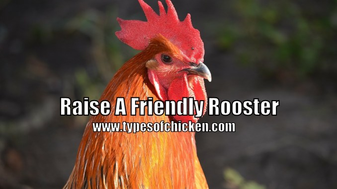 Raise A Friendly Rooster