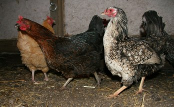 The Heritage Chicken Breeds