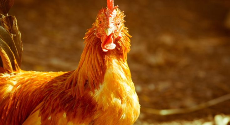 Quarantine Area For Chickens