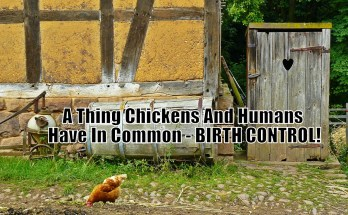 A Thing Chickens And Humans Have In Common - BIRTH CONTROL!