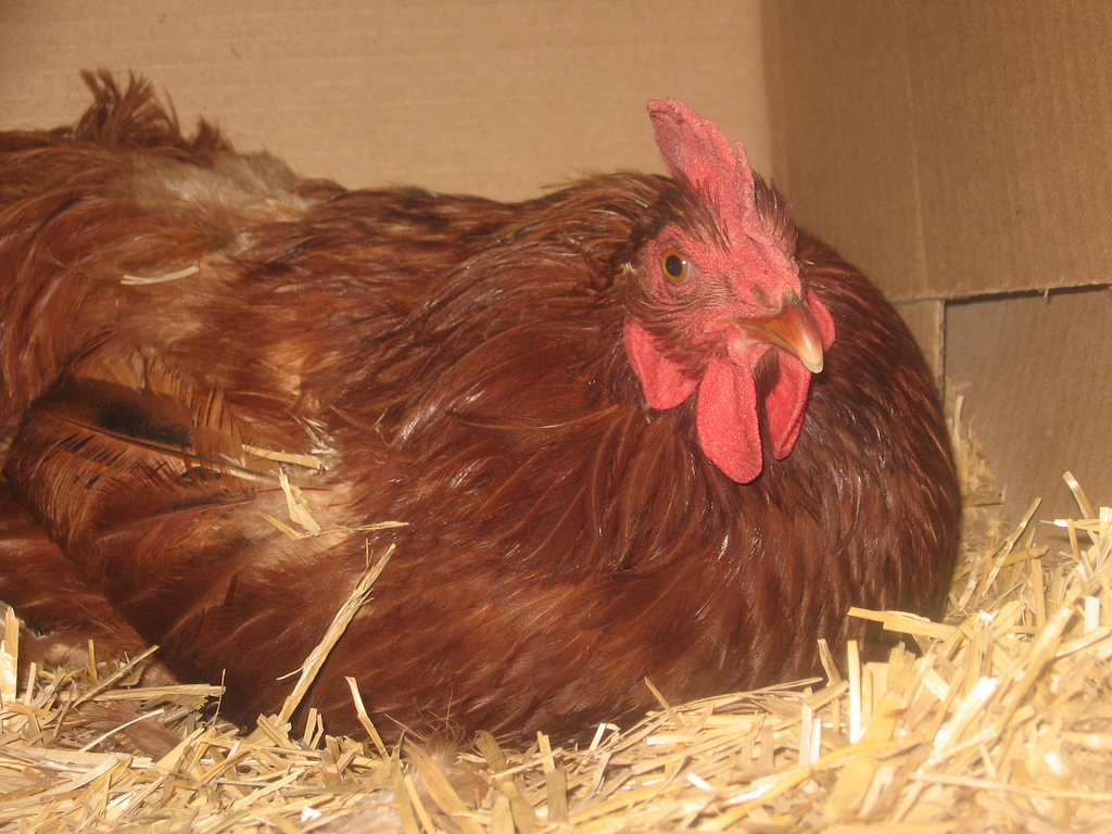 Choosing The Right Bedding For Chickens Types Of Chicken