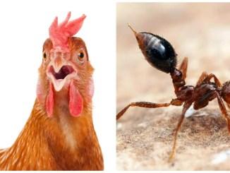 Fire Ants Around Chickens