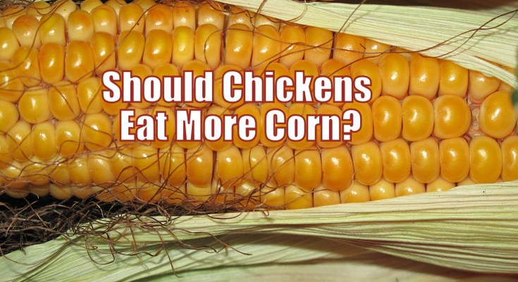 Should Chickens eat more corn