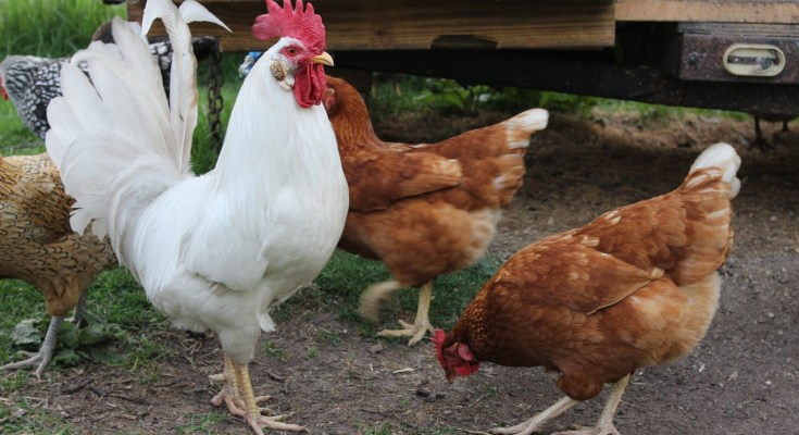 Why Keeping Roosters Can Be A Bad Idea