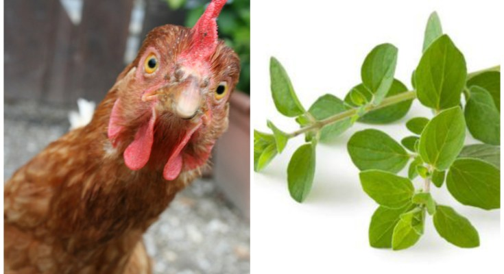 Oregano For Chickens