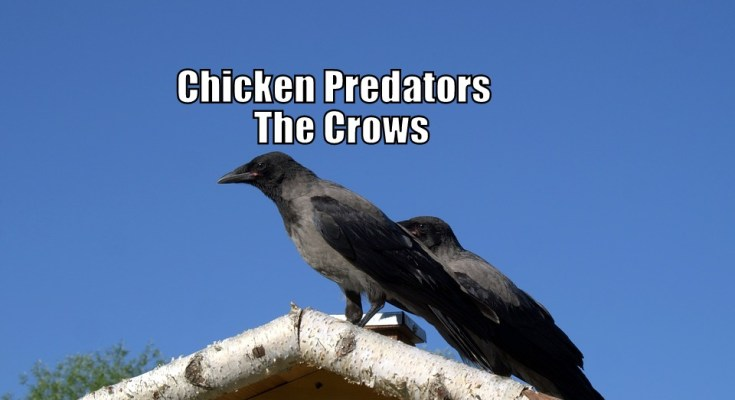 Chicken Predators - The Crows